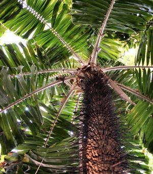 Palmier épineux, Corozo - Aiphanes horrida (syn. Aiphanes aculeata)