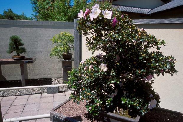 Collection de bonsaïs du Jardin japonais