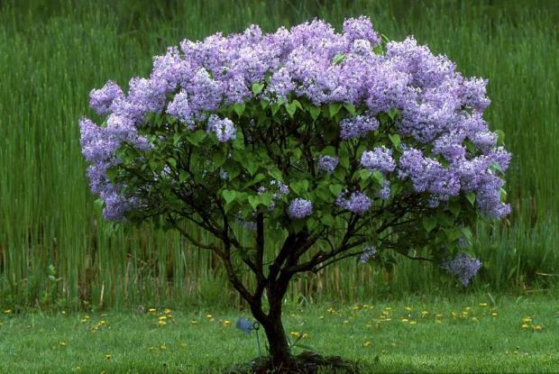 Syringa x hyacinthiflora 'Laurentian'