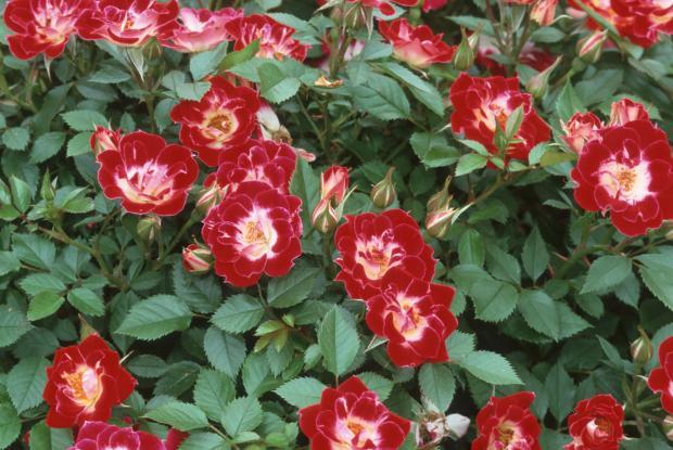 Rosa 'Little Artist'