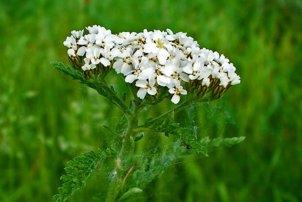 8 - Common yarrow
