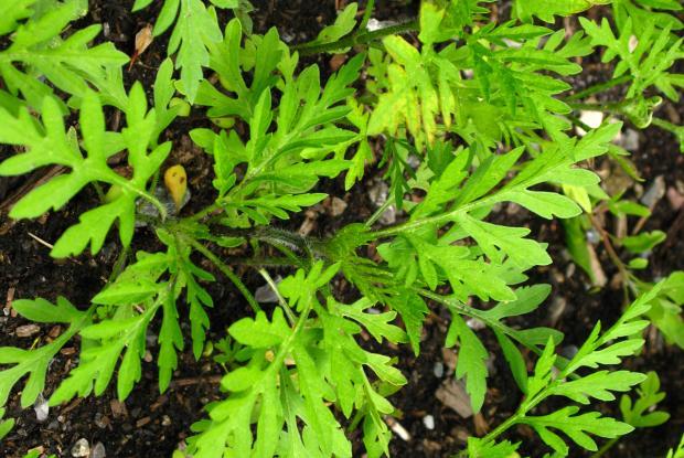 Ragweed (Ambrosia artemisiifolia) - young seedling