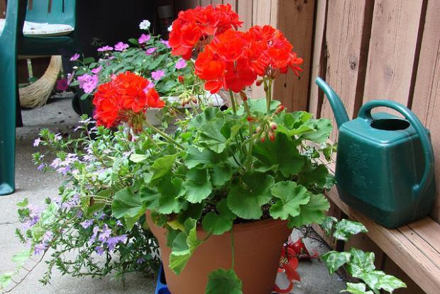 Géranium (Pelargonium sp.) en pot