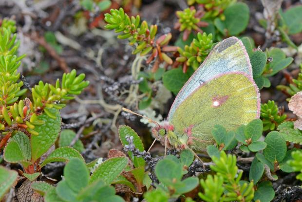 Colias nastes (Pieridae), Kuujjuaq