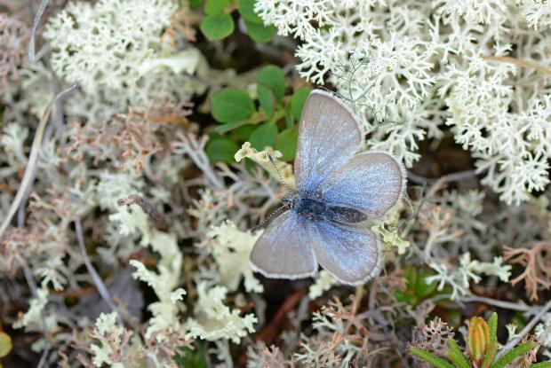 Lycaenidae, Kuujjuaq