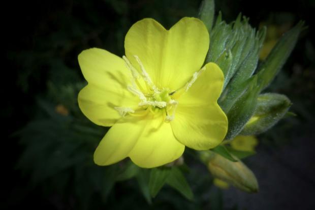 Oenothera biennis, Richelieu (02-08-12)