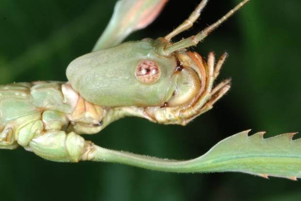 Phobaeticus serratipes.