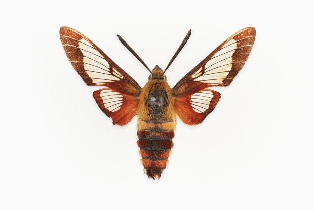 Hemaris gracilis.