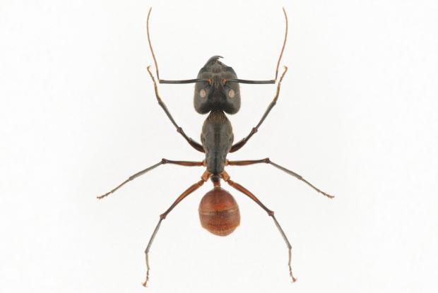 Camponotus gigas.