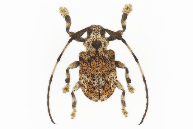 Onychocerus albitarsis.