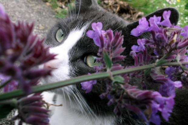Cat with catnip (Nepeta cataria)