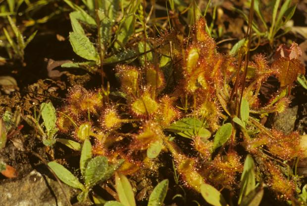 Drosera rotundifolia.