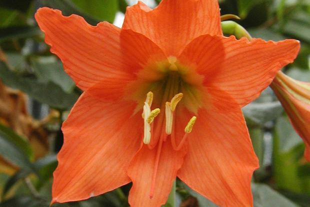 Amaryllis espace pour la vie for Les amaryllis fleurs