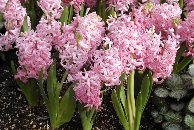 Hyacinthus orientalis.