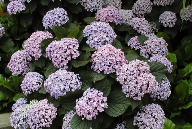 hortensia hydrangea macrophylla space for life. Black Bedroom Furniture Sets. Home Design Ideas