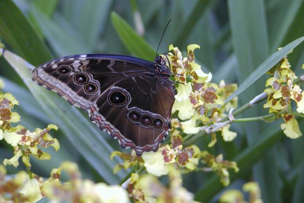 Morpho peleides, sur une orchidée