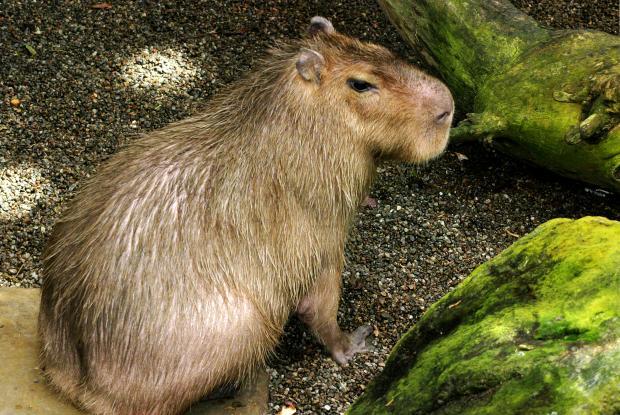 Capybara (Hydrochoerus hydrochaeris) dans la forêt tropicale au Biodôme de Montréal