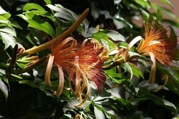 Châtaignier de Guyane (Pachira aquatica).