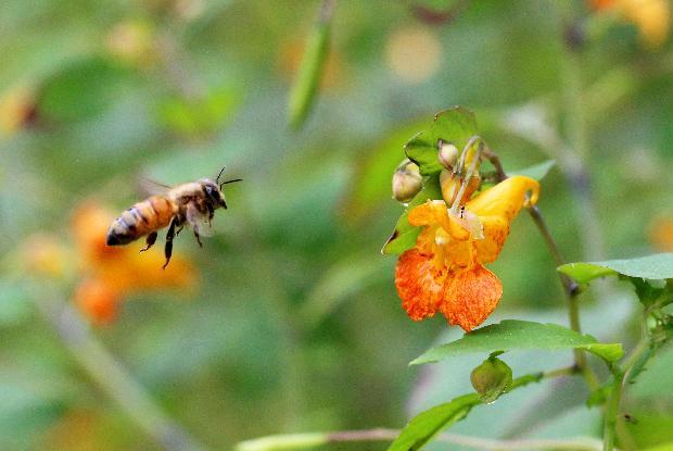 Abeille se dirigeant vers une fleur d'impatiente du cap