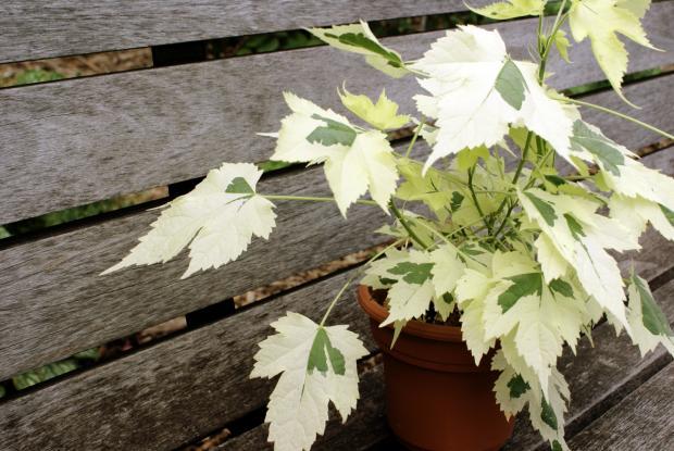 Abutilon hybridum 'Savitzii'