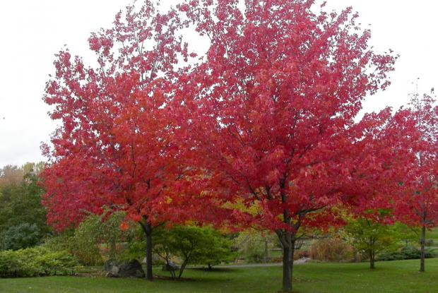 how to grow acer rubrum from seed