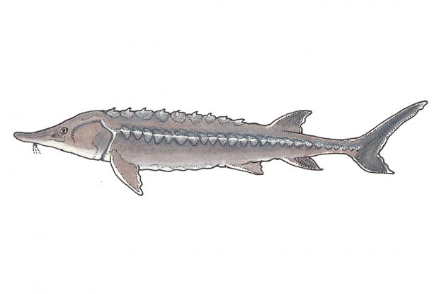 Acipenser oxyrinchus