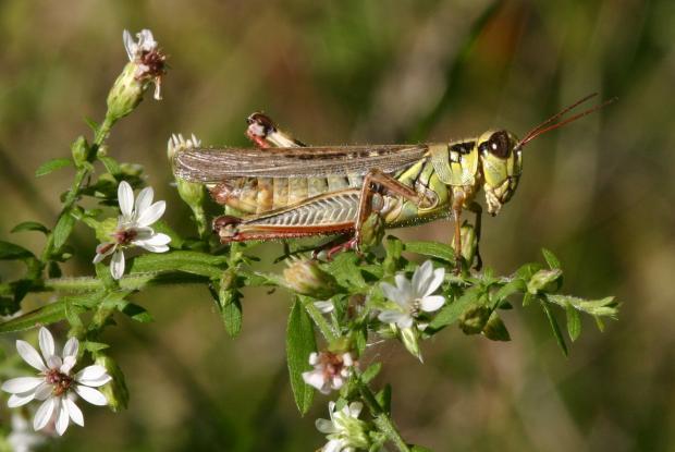 Acrididae, Québec, Canada.