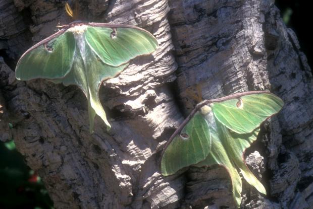 Papillon lune espace pour la vie - Duree de vie papillon de nuit ...