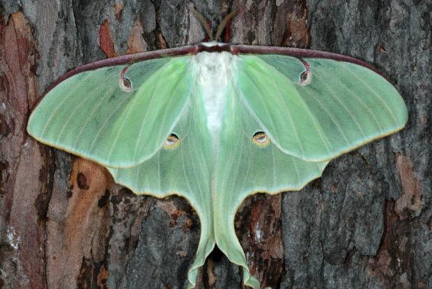 Papillon lune espace pour la vie - Que mange les papillons de nuit ...