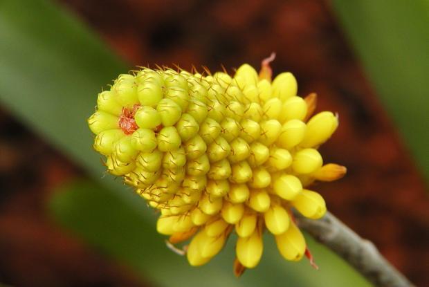 Aechmea calyculata.