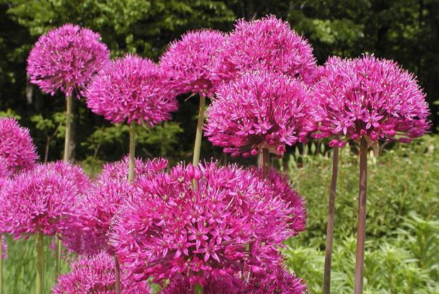 Allium hollandicum 'Purple Sensation'.
