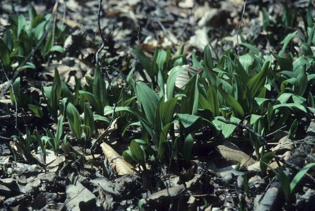 Ail des bois (Allium tricoccum).