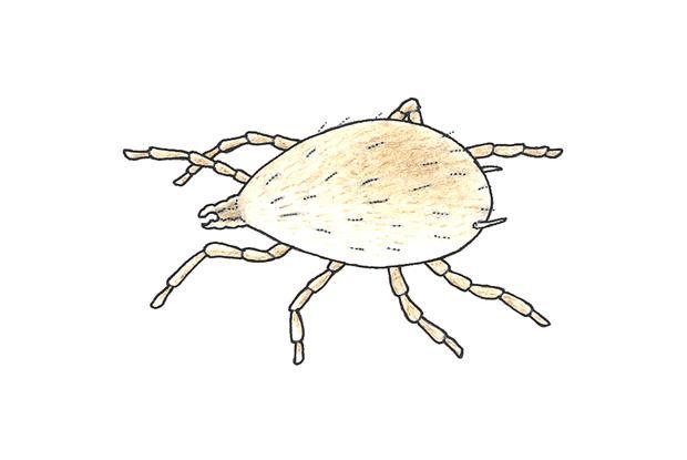 Amblyseius californicus