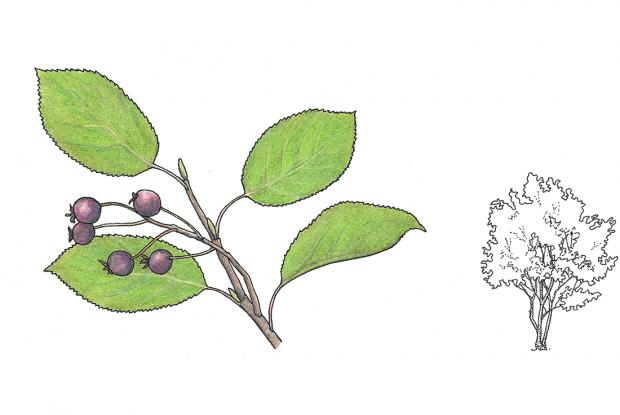 Amelanchier arborea (syn. A. canadensis)