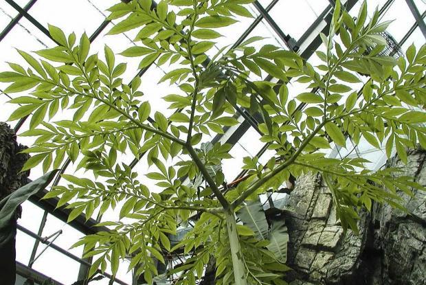 Amorphophallus paeoniifolius var. campanulatus