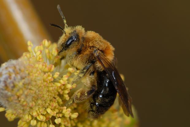 Andrena dunningi