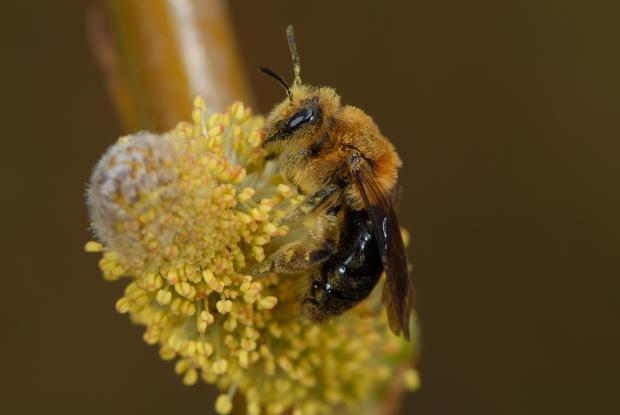 Andrena dunningi, Québec, Canada.
