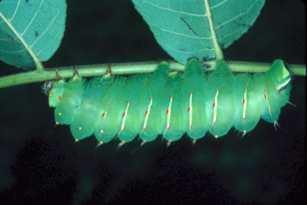 Antheraea polyphemus, Québec, Canada.