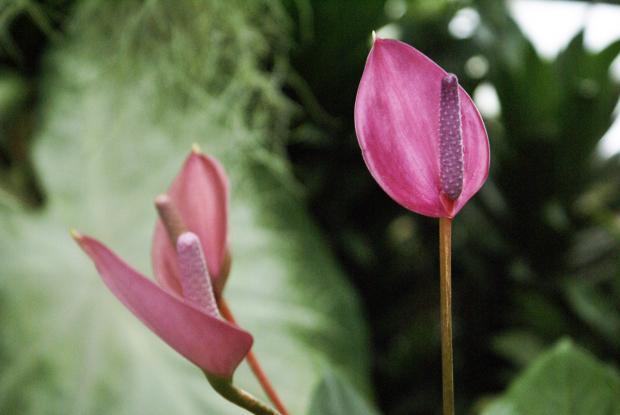 Anthurium 'Purple plum'