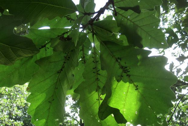 Pucerons et fourmis sous des feuilles de chênes.