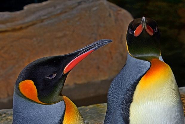 Aptenodytes patagonica