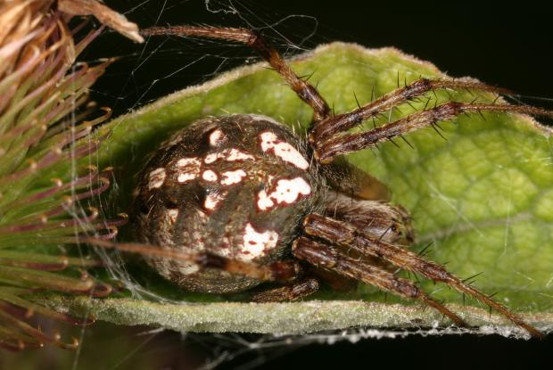 Spider, Québec, Canada
