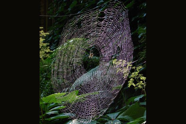 Araneidae web, Québec, Canada.