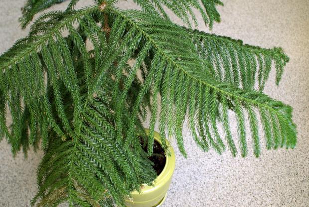 Araucaria espace pour la vie - Araucaria plante d interieur ...