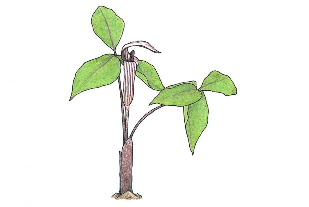 Arisaema triphyllum (anc.: Arisaema atroruben)