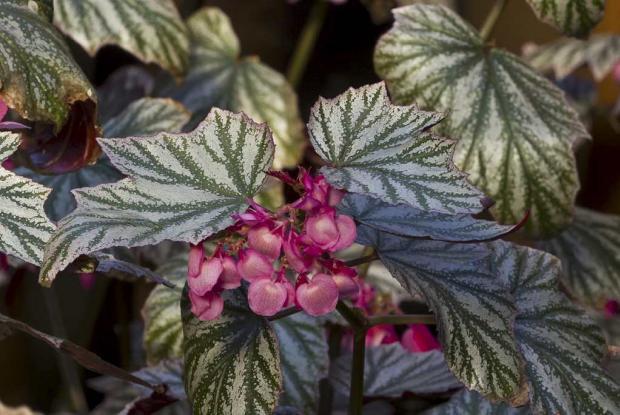 Begonia 'Pink Minx'