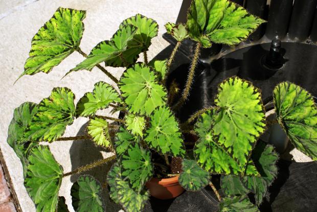 Begonia 'Tiger Star'