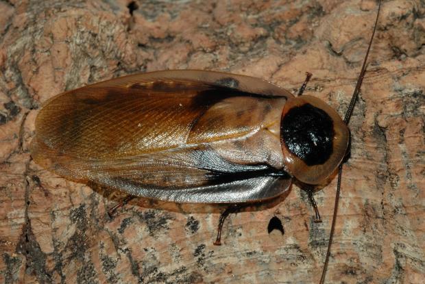 Blaberus cranifer, Amérique centrale.