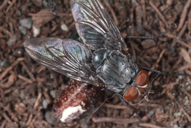 Calliphoridae, Québec, Canada.