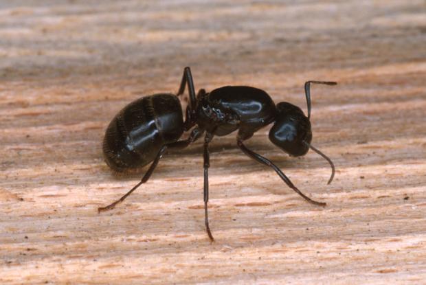 fourmis charpenti res espace pour la vie. Black Bedroom Furniture Sets. Home Design Ideas